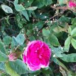 les rroses anciennes